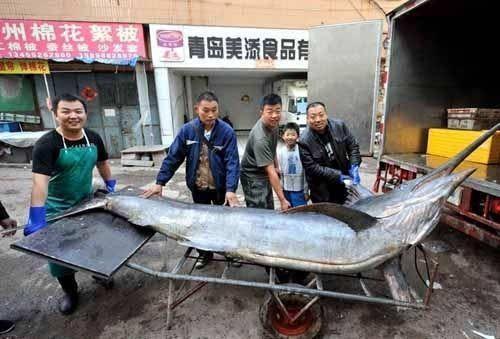 世界上最大的剑鱼被捕,重达619斤(图)(www.souid.com)