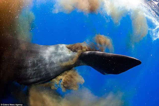 新闻 正文  一群潜水员在水下拍摄抹香鲸的时候,几乎被抹香鲸巨大的粪
