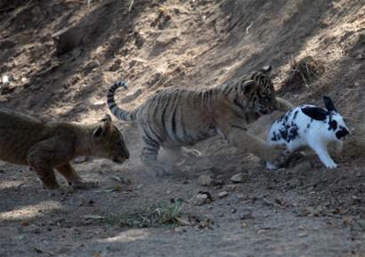 由于母狮子,母老虎不愿带