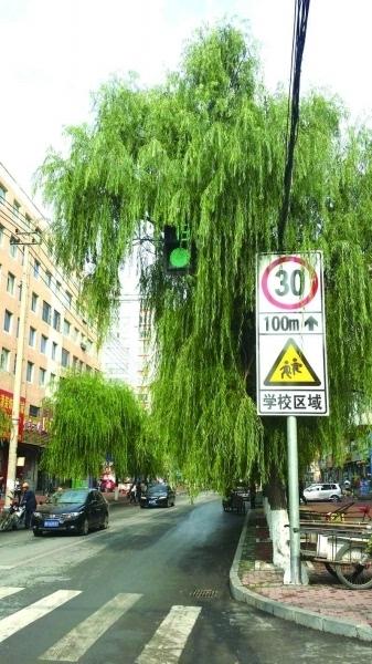 大树茂盛遮挡红绿灯
