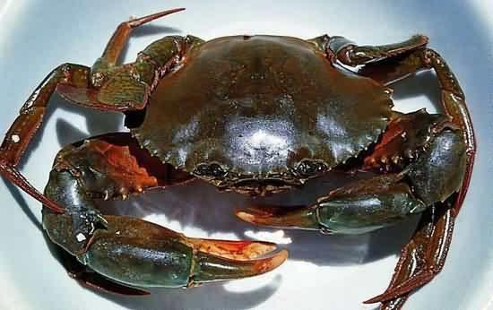 """挑选""""实膏蟹""""时,除了看甲壳中卵黄的丰满度,在甲壳后沿和揭开腹下的生图片"""