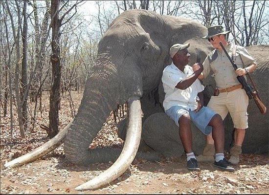 非洲象王被德国人猎杀 人类猎杀最大大象单是象牙就重110斤
