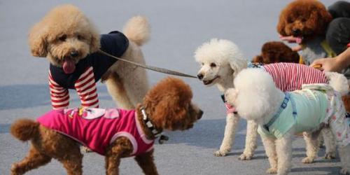 带着36条流浪狗前来参加活动的南京平安阿福流浪动物救助中心