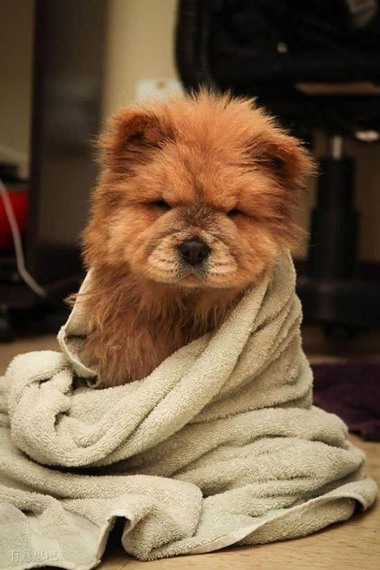 狗奴必收藏:精选世界上最萌的宠物狗!
