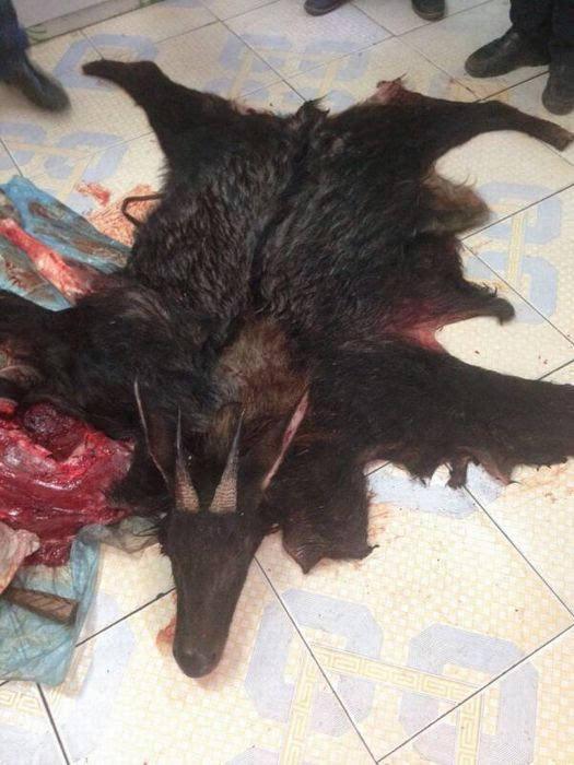 被宰杀的国家二级保护动物鬣羚.温州文成县林业局供图