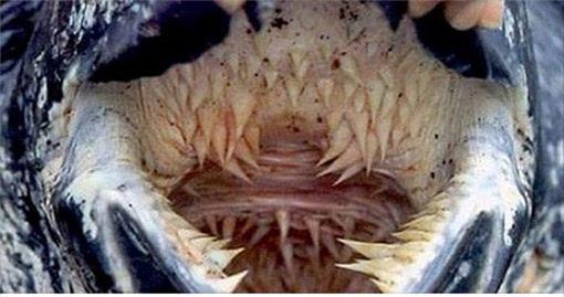 是世界上最大的乌龟.这种奇妙的 它的嘴巴里面隐藏著一个巨大的阴图片