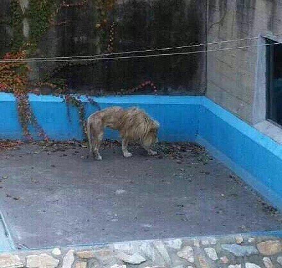 """(北京)网友怜悯""""瘦""""白狮怀疑遭虐待 动物园回应:它存在遗传缺陷"""