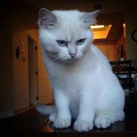 蓝眼睛 加上鄙视的眼神 好可爱!这谁家的!图片