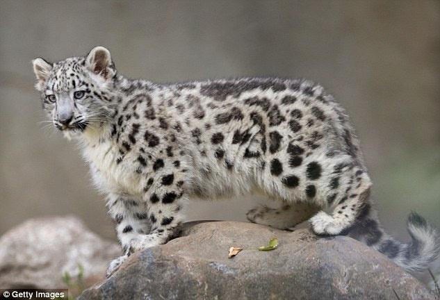 隐藏摄像头拍下喜马拉雅山中濒临灭绝的雪豹