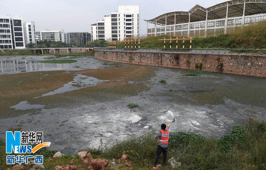 工人在广西财经学院相思湖校区景观湖向污染水体投放石灰(11月4日图片