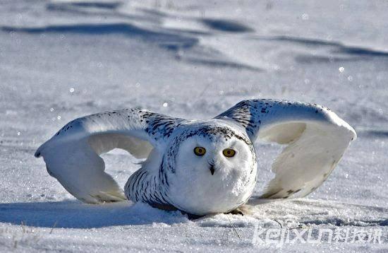 北极十大珍惜动物 冰雪世界中的美丽精灵