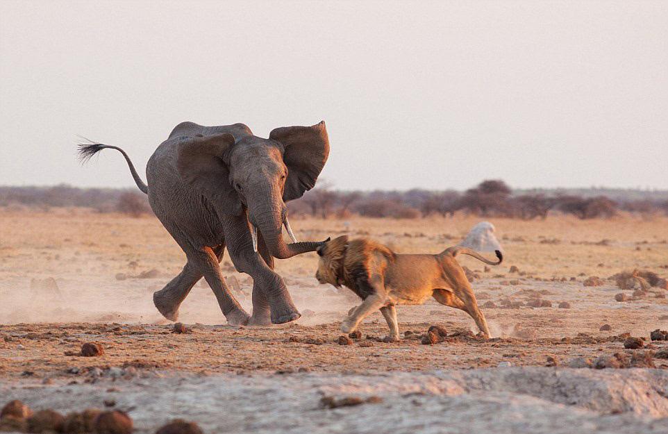 非洲大草原上演雄狮大象争水大战