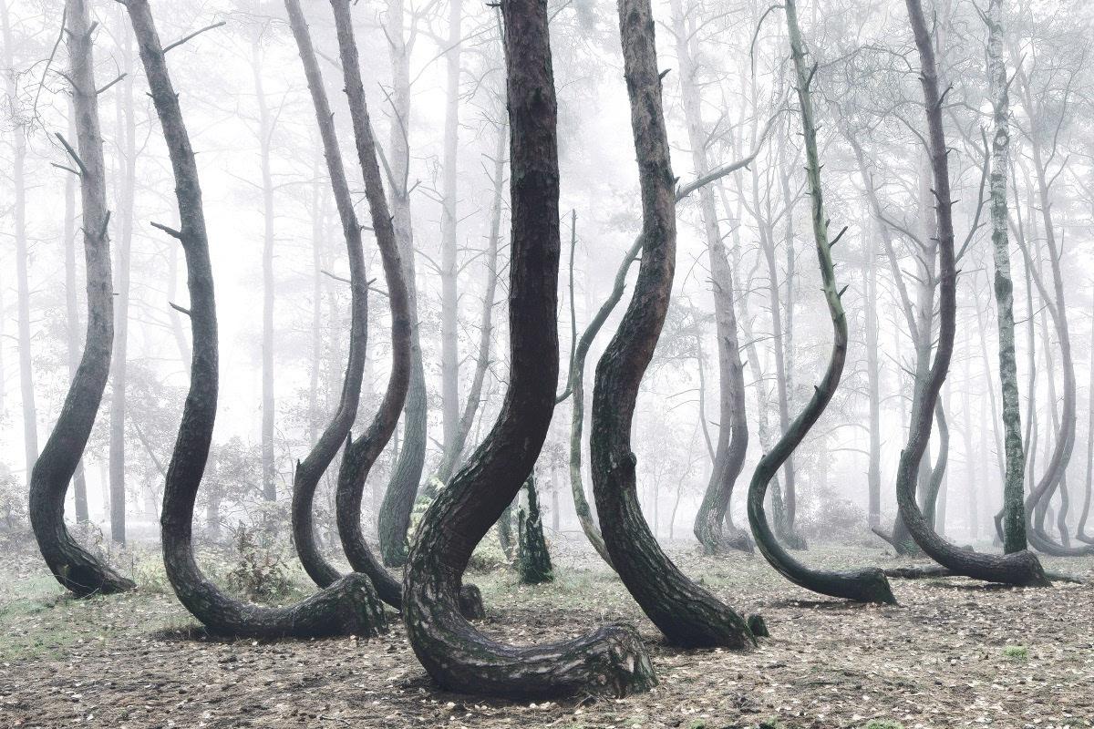波兰弯曲森林成因图片