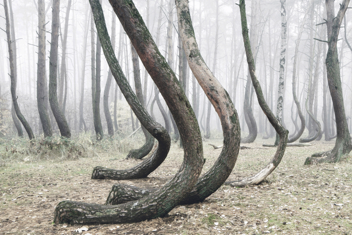 波兰弯曲森林图片