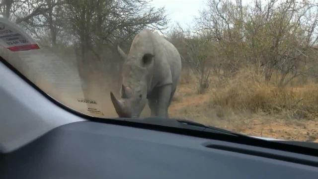 这犀牛简直就是蓝翔推土机毕业,直接撞击汽车,没想到汽车竟然!
