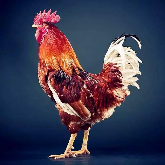 上床大鸡鸡_看 美丽的大鸡鸡