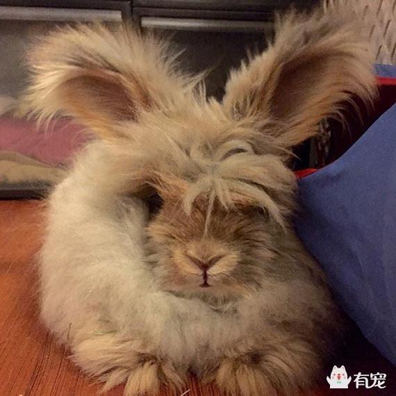 安哥拉兔兔毛价格_英国安哥拉兔 英国安哥拉兔相关资料_龙太子供应网