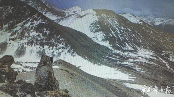 这次拍摄到三只雪豹的监测点位于新龙县塔布沟山顶,海拔约4700米。在当地林业部门提供的视频中,4月16日晚7点过,三只雪豹前后成列,行走在岩崖缓坡上。排头的雪豹耸动着肩胛,毛茸茸的尾巴卷而翘起。跟着画面中出现两只雪豹,紧挨在一起经过,体格壮硕,姿态矫健,身上的?#39057;?#40657;斑,清晰可见。后一只雪豹行走一段后,停在画面左部,坐于岩石上,其身旁?#21069;?#30353;白雪的岩崖,风吹过,还扬起了它的毛发。 雪豹的出现,代表一个地方的生态环境良好。在同一监测点,红外相机还拍摄到矮岩羊、狼、狐狸等野生动物,这也表明当地有着较高的生物多样性