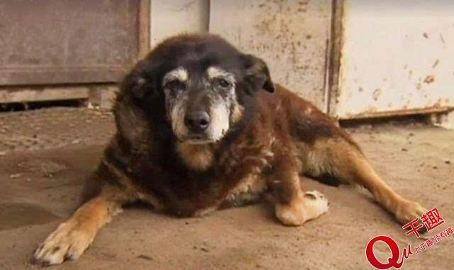 世界最长寿的狗去世!活了30岁相当于人类133岁