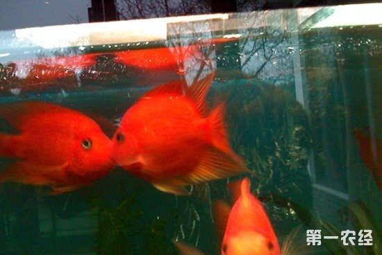 接吻鱼为什么会接吻_接吻鱼不吃东西怎么办?接吻鱼不吃东西会死吗?