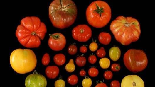 现在西红柿为何没了从前味道?中国科学家找到答案的照片