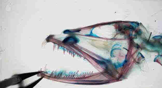 深海恐懼怪魚!嘴能張開120度怪魚科學家用X光揭秘