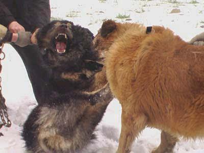 世界上最大的狗藏獒_探索比藏獒更牛的高加索犬 一口咬死藏獒 世界上体型最大狗