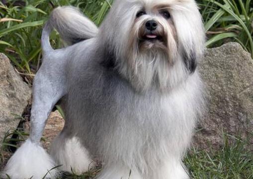 盘点世界最名贵的十大狗犬种排行榜(看图片)