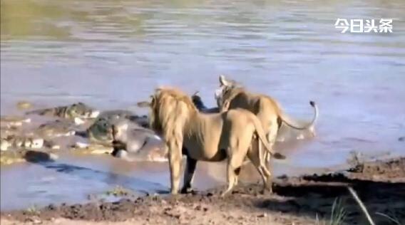 非洲性爱狠狠_饥饿非洲狮为争夺河马尸体水中与大鳄群对战