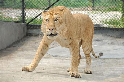 狮虎兽和虎狮兽谁大_连老虎和狮子都不敢惹的狮虎兽