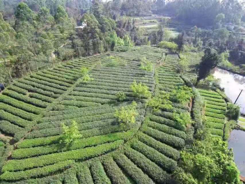 犍为县特色农产品报道:茗犍香茶业为生活增添好味道